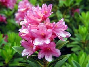 Sagra del Rododendro